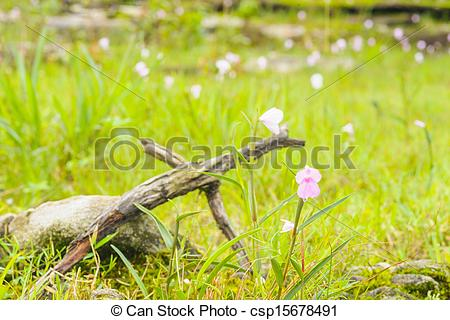 Stock Photographs of Wildflowers pink field of Caulokaempferia.