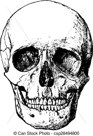 Vector Clipart of Front view of skull, vintage engraving..