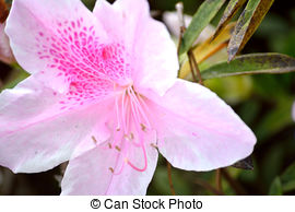 Pictures of Light pink azalea bloom against a blurred green.