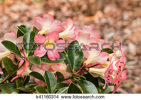 Stock Photo of pale pink rhododendron flowers k41160314.