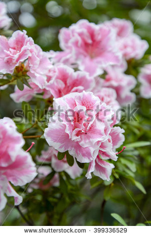 Pink Azalea Stock Photos, Royalty.