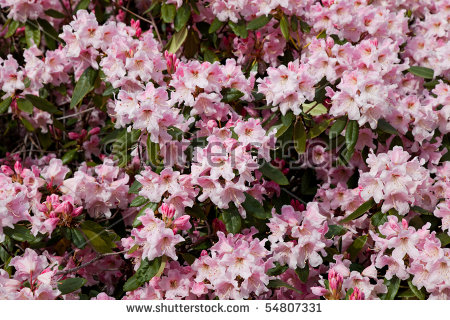 Pink Azaleas Stock Photos, Royalty.