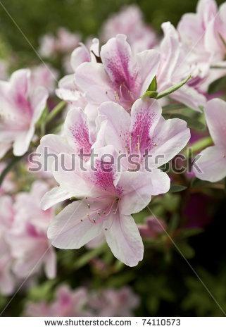 Azalea Flower Stock Photos, Royalty.