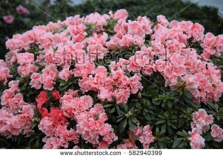Pink Azalea Blossom Stock Photos, Royalty.