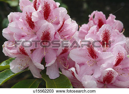 Stock Photo of Close up of flowerheads of a rhododendron.