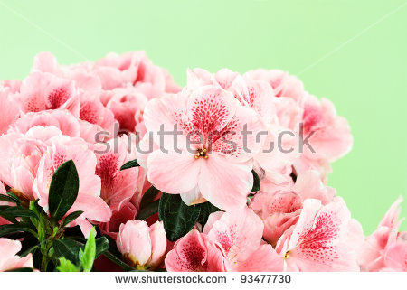 Flower Azalea Stock Photos, Royalty.