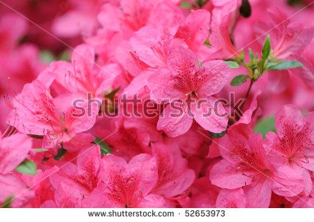 Pink Azalea Stock Photos, Royalty.
