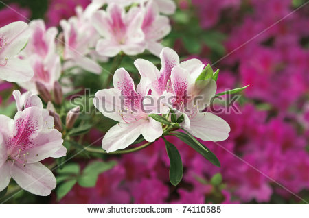Azalea Rhododendron Spring Blooming Stock Photos, Royalty.
