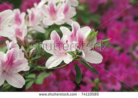 Azalea Rhododendron Spring Blooming Stock Photos, Royalty.