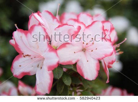 Pink Azalea Blossom Stock Photos, Royalty.