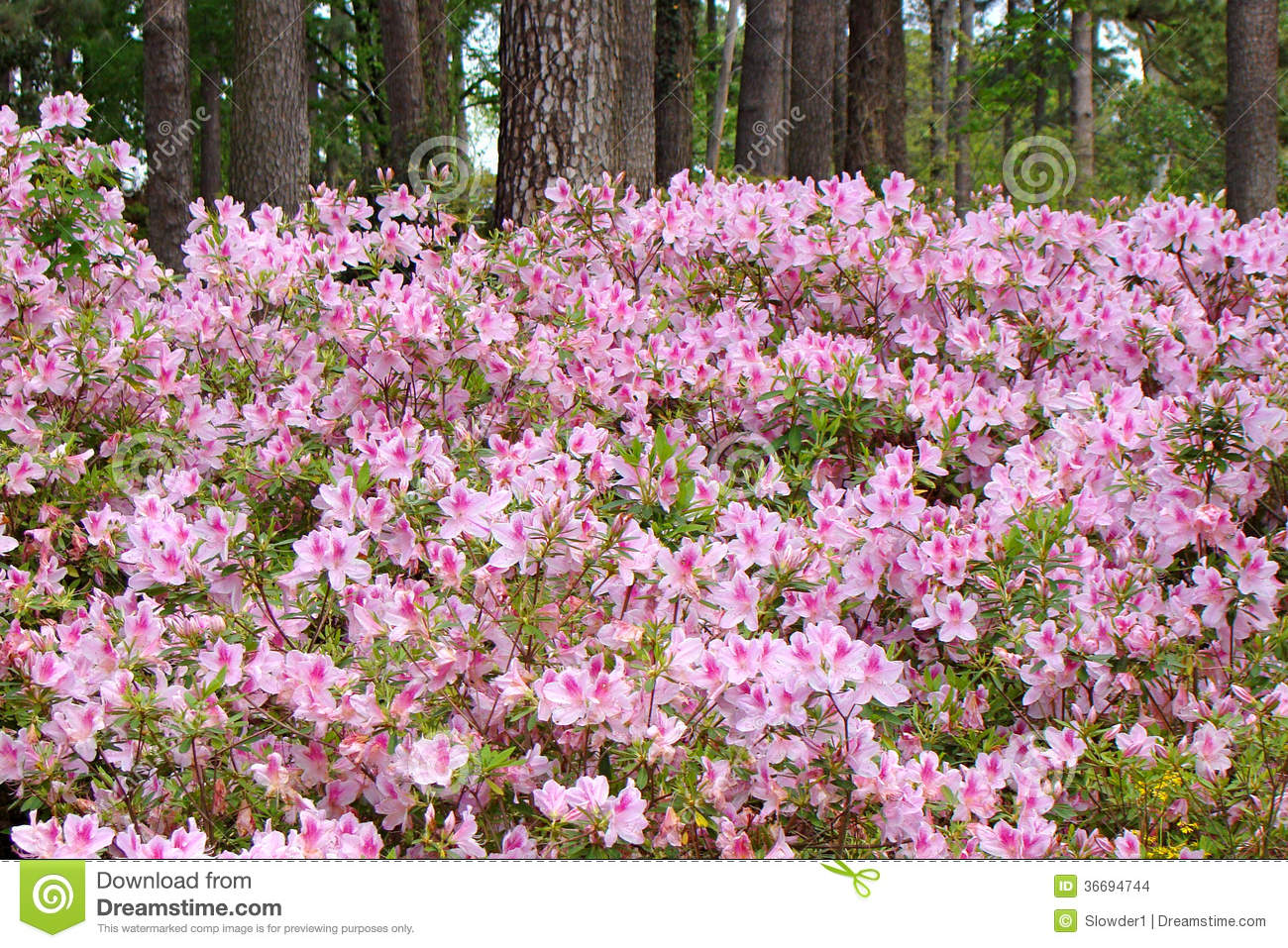 Azaleas In Full Bloom Stock Images.