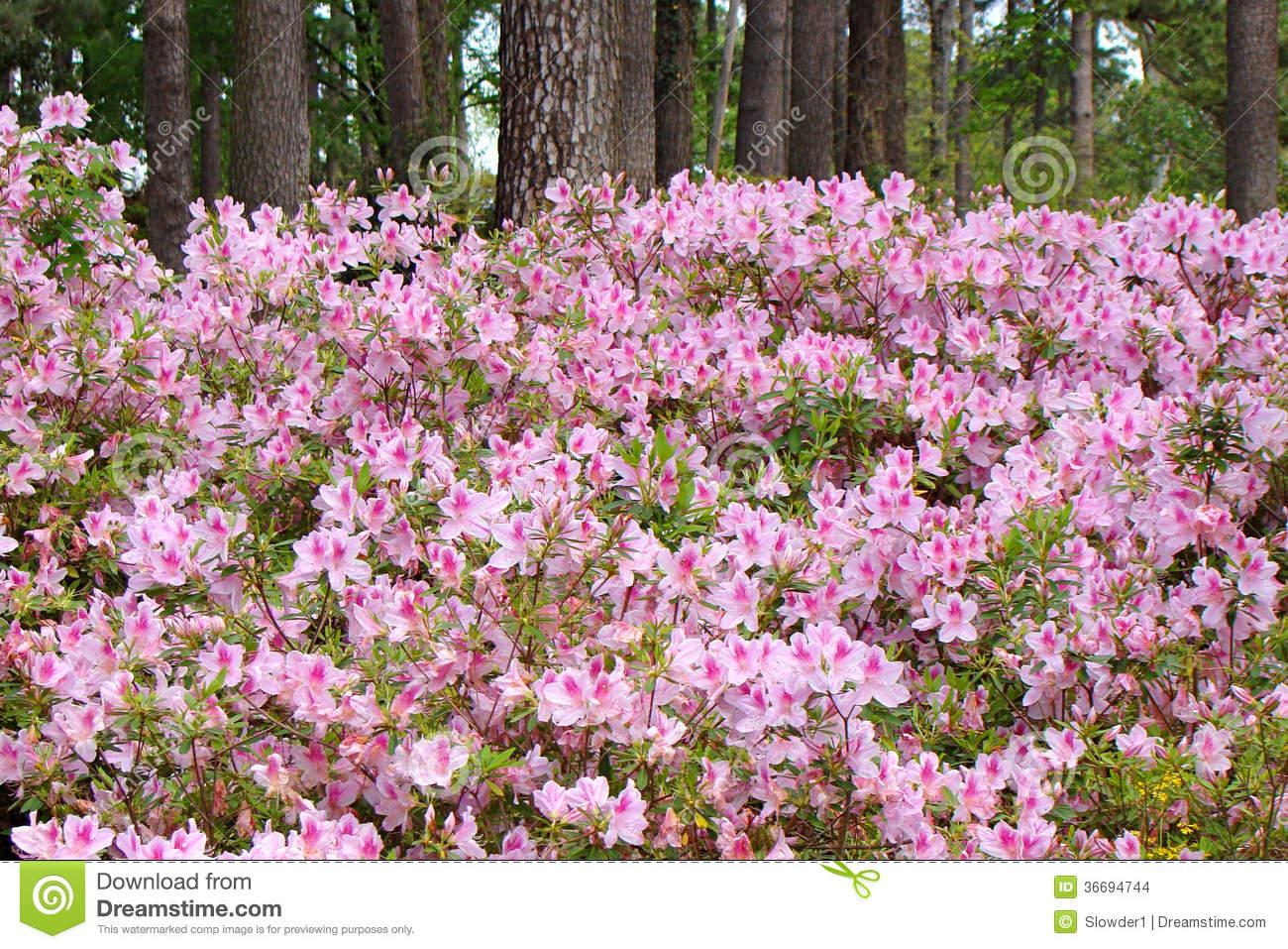 Azaleas In Full Bloom Stock Images.