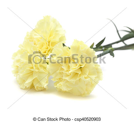 Stock Photography of pale yellow carnation flowers isolated on.