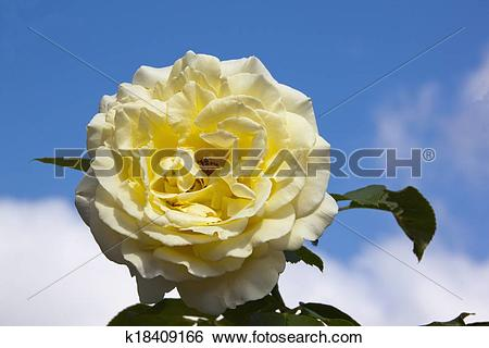Stock Images of Pale Yellow Rose Against Blue Sky And Clouds.