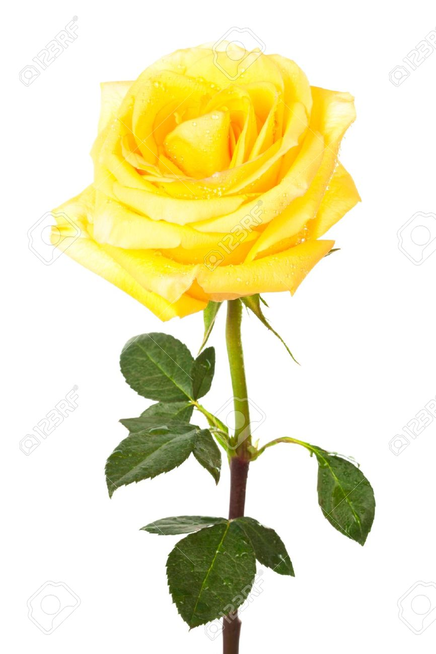 Yellow rose hd clipart.