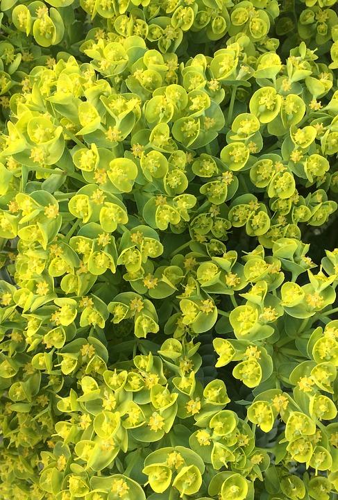 Free photo Euphorbia Spurge Plant Euphorbiaceae Spurge Family.
