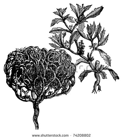 Rose Of Jericho Stock Photos, Images, & Pictures.