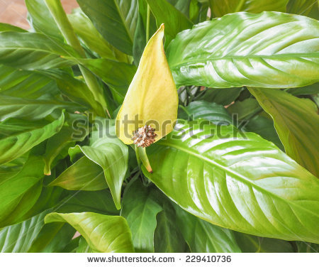 Wild Calla Lily Stock Photos, Images, & Pictures.