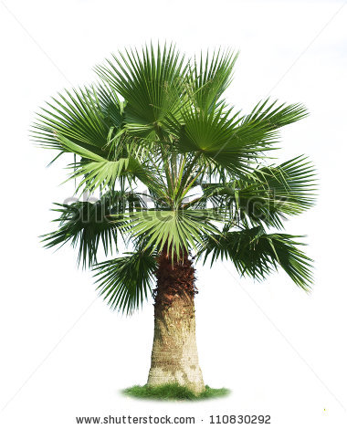 Fan Palm Trees Stock Images, Royalty.