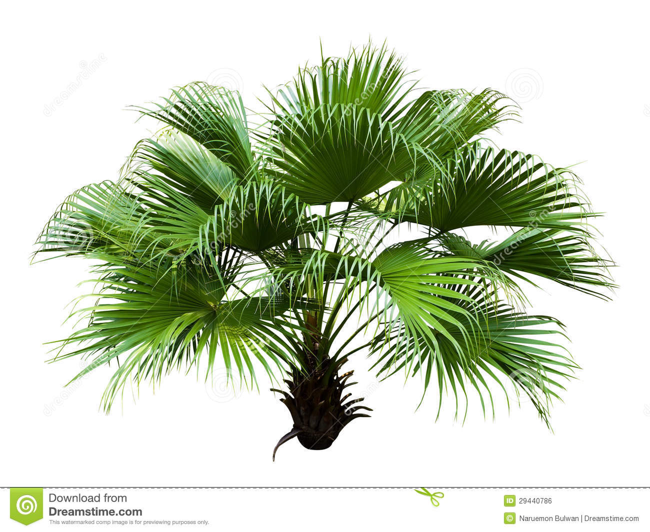 Chinese Fan Palm Royalty Free Stock Image.