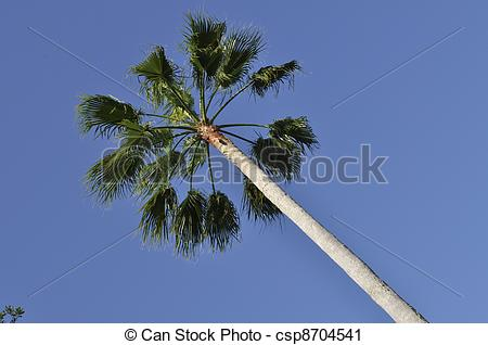 Stock Photography of Tall Fan Palm Tree.