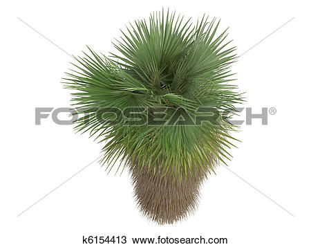 Drawing of Desert Fan Palm or Washingtonia filifera k6154413.