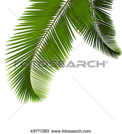 Clipart of Palm leaves on white background k9777261.