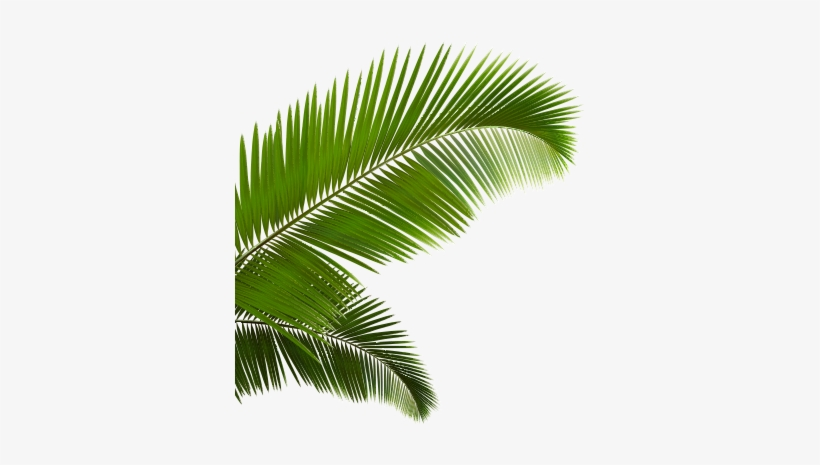 Palm Fronds Png.