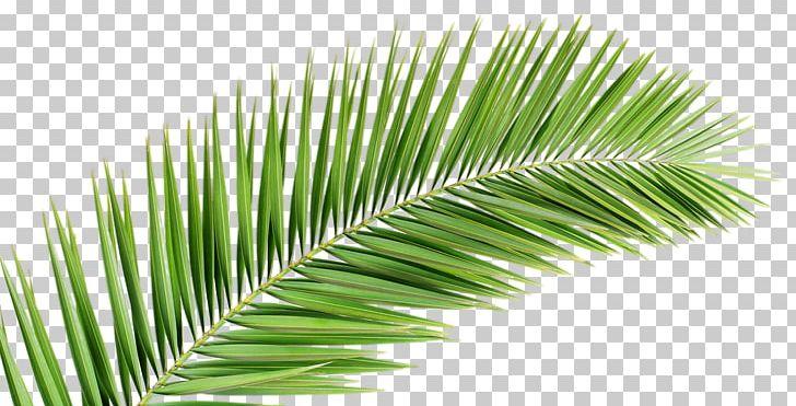 Palm Branch Arecaceae Leaf Frond PNG, Clipart, Arecaceae.