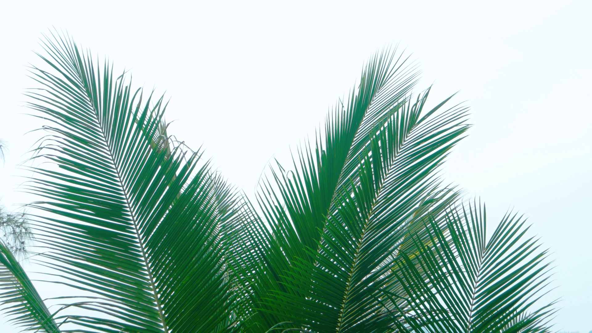 Palm Fronds Png , (+) Pictures.
