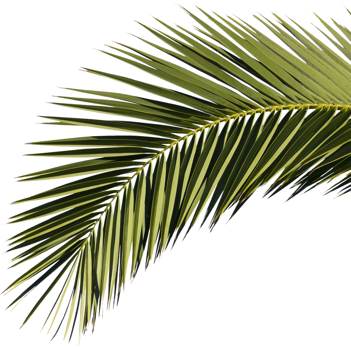 Palm Fronds Png, Transparent Png.