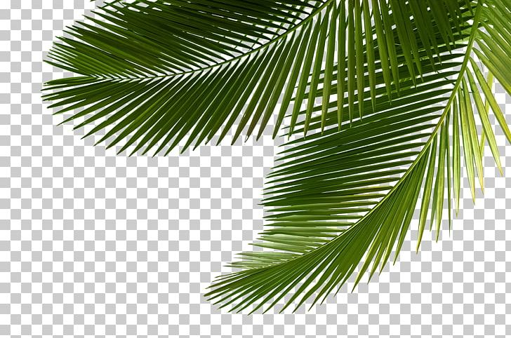 Arecaceae Asian Palmyra Palm Leaf Tree Sabal Palm PNG.