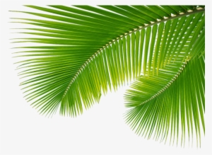 Palm Leaves PNG, Transparent Palm Leaves PNG Image Free.