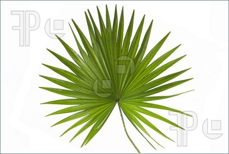 Palm leaf clipart #18