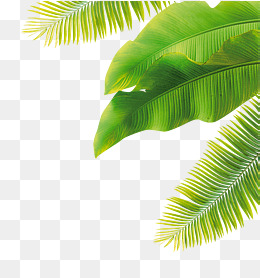 Palm Leaves PNG Images.