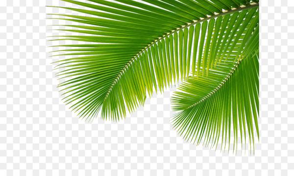 Arecaceae Leaf Palm branch.