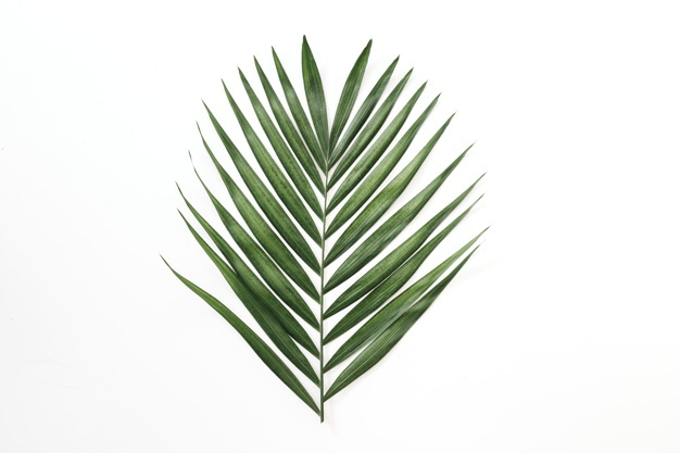 Palm Leaf Vectors, Photos and PSD files.