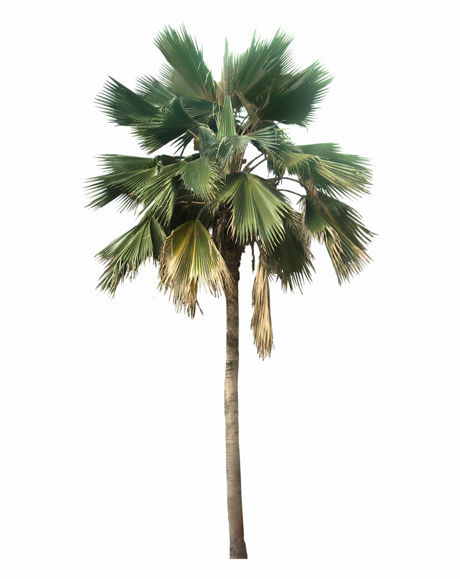 Washingtonia Palm Tree Png.