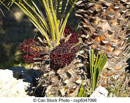 Palm seeds clipart #10