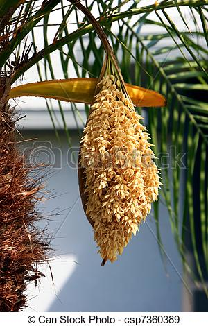 Stock Photographs of Palm Tree Flower.
