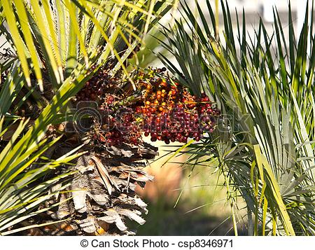 Stock Photography of palm seeds.