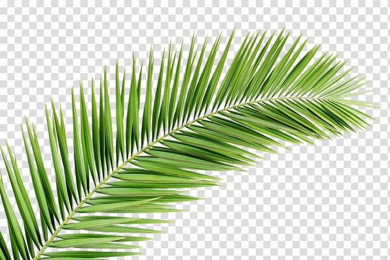 Palm trees Palm branch Palm.