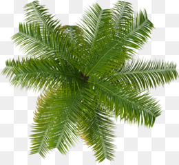 Palm Tree Top PNG and Palm Tree Top Transparent Clipart Free.