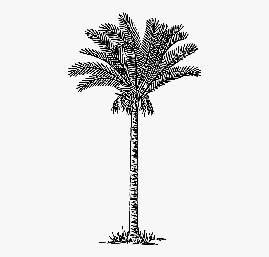 Date Palm Tree Drawing , Transparent Cartoon, Free Cliparts.
