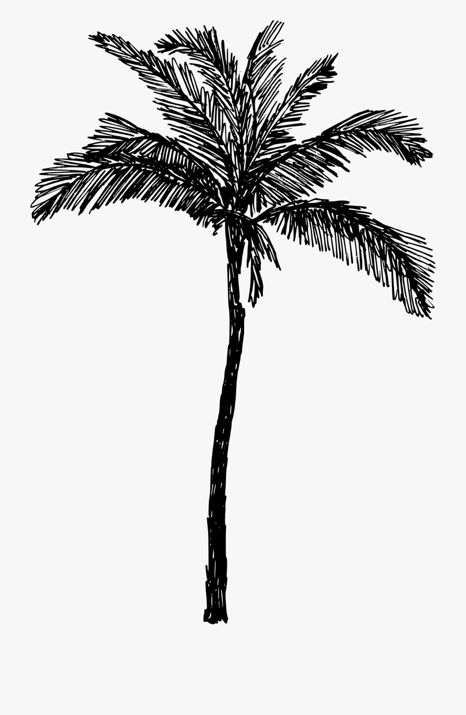 Palm Trees Drawing Clip Art Line Art Coconut.