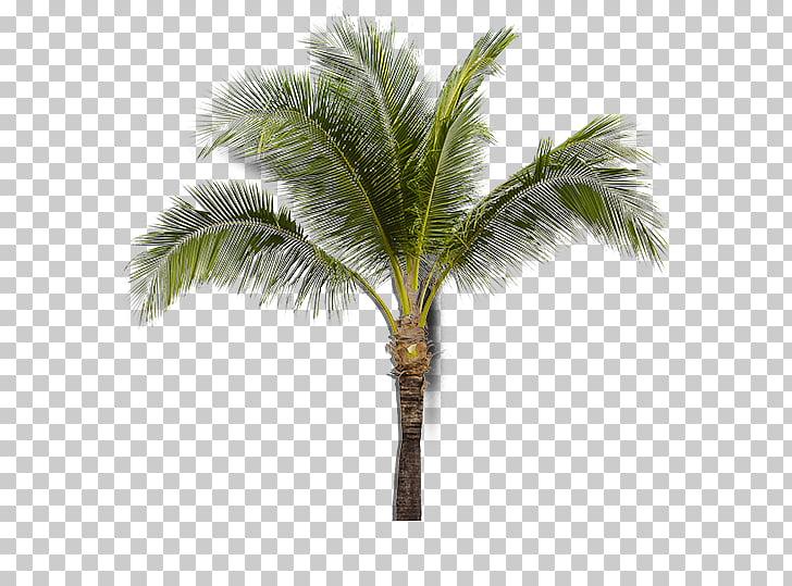 Asian palmyra palm Coconut Babassu Sabal Palm Arecaceae.