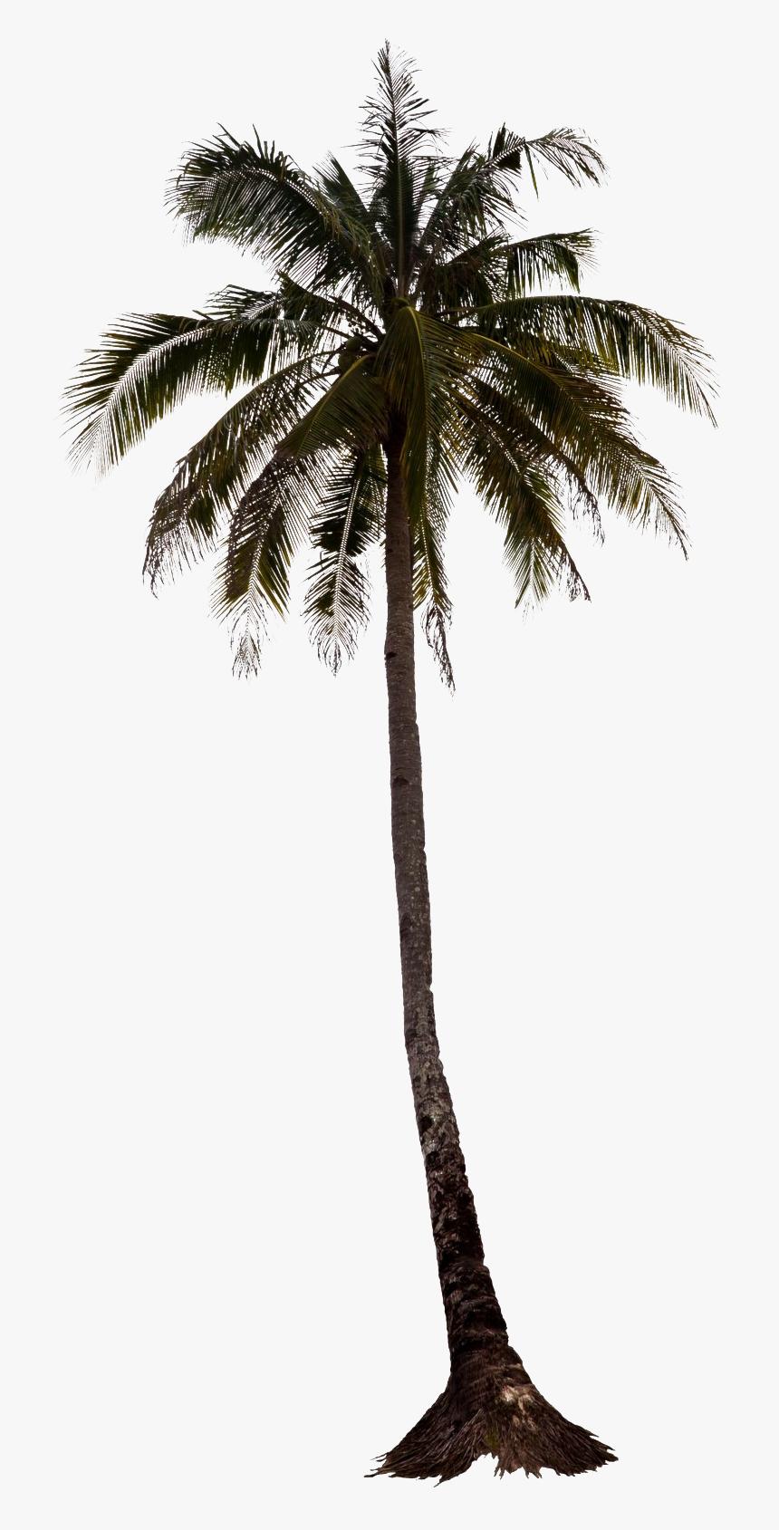 Palm Tree Elevation Png, Transparent Png , Transparent Png.