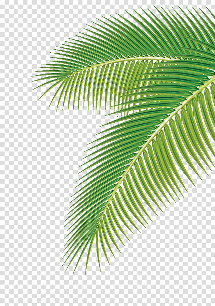Arecaceae Leaf Euclidean , Palm leaf, green palm leaf.