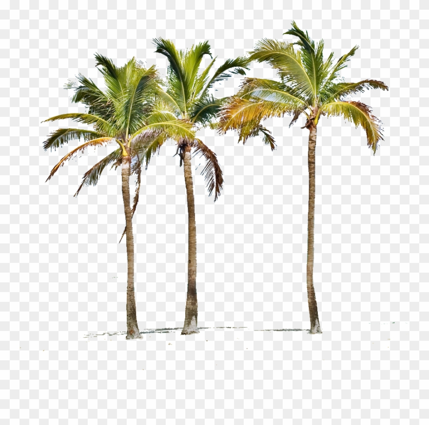 Miami Palm Tree Png.