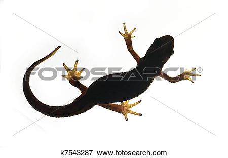 Picture of Palmate newt. Triturus helveticus k7543287.